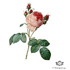 Wickedly Lovely Parisian Rose. pink rose tattoo. vintage rose tatttoo, fine art rose tattoo, Body art, skin art, Wickedly Lovely Skin Art Temporary Tattoo