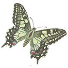 A Shine To It Butterfly Vintage Book Illustration Temporary Tattoo