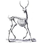 The Fickle Tattoo Deer Skeleton Temporary Tattoo -
