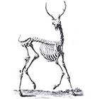 The Fickle Tattoo Deer Skeleton Temporary Tattoo -