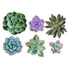 The Fickle Tattoo Succulents Temporary Tattoos -