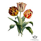 Wickedly Lovely Three Vintage Tulips, floral Illustration tattoo, tulip tattoo, flower tattoo, Body Art, Wickedly Lovely Skin Art Temporary tattoo