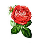 Taboo Tattoo 2 Elegant Vintage Red Rose Temporary Tattoo, various sizes available