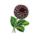 Taboo Tattoo 2 Vintage Black and Red Dahlia Temporary Tattoo, various sizes available