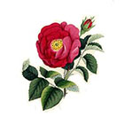 Taboo Tattoo 2 Elegant Vintage Tea Rose Temporary Tattoo, various sizes available Design 2