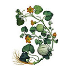 The Fickle Tattoo Vintage Botanical Squash Temporary Tattoo -