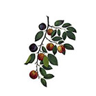 The Fickle Tattoo Medieval Botanical Plums Temporary Tattoo -