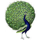 WildLifeDream Peacock - Temporary tattoo