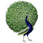 WildLifeDream Peacock - Temporary tattoo